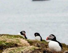 Getting close to puffins in the Treshnish Isles