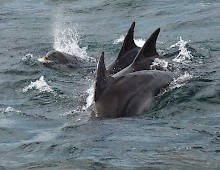 Dolphins are often spotted