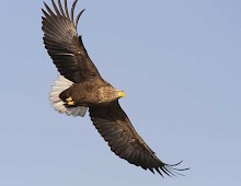 White-tailed eagles are frequently seen