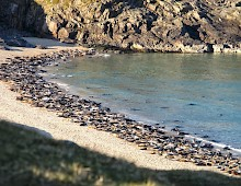 Seals hauled up on the the shore in Mingulay Bay