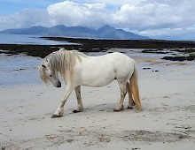 Wild Horse on the Island of Muck.