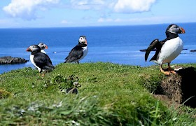 Puffins on Lunga by Gordon Howe