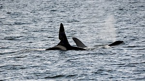 Orcas photographed from Glen Massan