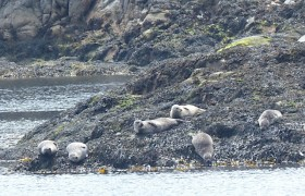 Seals in the Sound of Jura