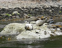 Seals relaxing in the Summer Isles